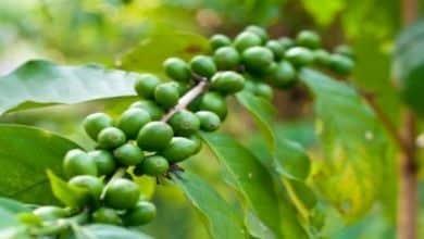 Die Blütezeit der Kaffeepflanze