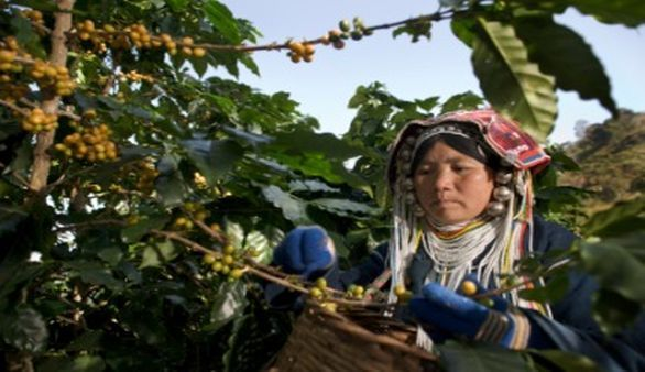 Die Kaffee Ernte