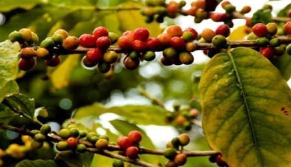 Die Kaffeepflanze